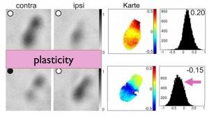 Mäuse, die in besonders großen Käfigen und mit einer Vielzahl von Möglichkeiten für soziale Interaktionen leben, zeigen bis ins hohe Lebensalter eine hohe Anpassungsfähigkeit in ihrer Sehrinde. Foto: Universität Göttingen